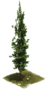 D SS EarlyMiddleAge Cypress.png